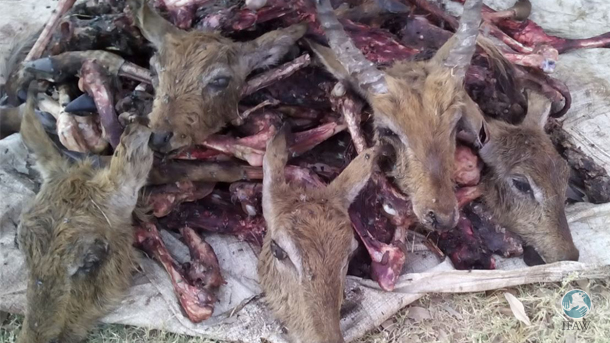 Dozens of letchwe, a medium-sized antelope, were being slaughtered and processed into dried meat bundles, ready for sale on the black market.