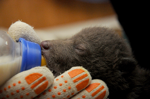 The cubs quickly begin to drink milk from a bottle. They each take 35 ml milk every 3-4 hours. They are kept in a warm room in a special wooden box with a heating pad on the floor, imitating their mother's warmth. c. IFAW