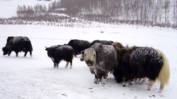 Mongolia reported one million livestock like these yaks perished during the 2016 dzud.