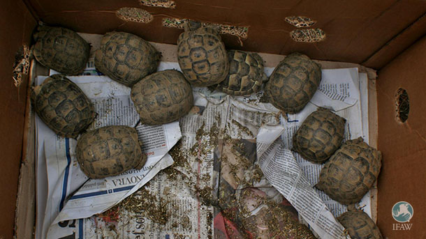 Wild tortoise are often stuffed inside cardboard boxes and stacked aboard ferries departing from Tunisian ports.