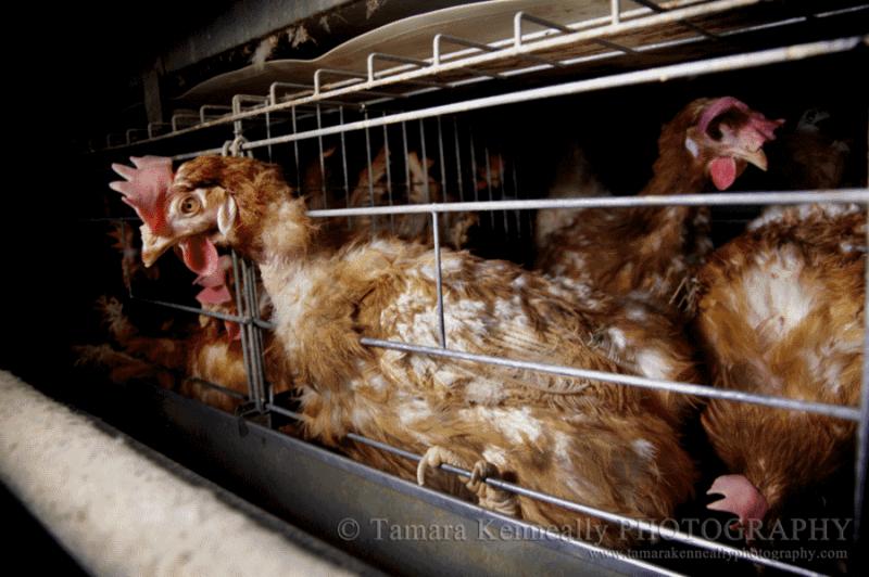 egg-farming-australia