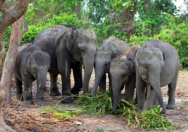 The small herd of orphan elephants are scheduled to move To Manas National Park tomorrow. © IFAW-WTI/S.Bhattacharjee