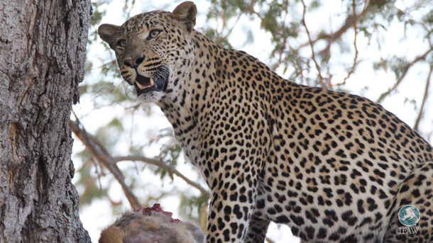 Even though we have known about rampant poaching in Kasungu, the IFAW-sponsored Wildlife Crimes Investigations Unit (WCIU) has only started to understand how poaching has affected leopards in particular.