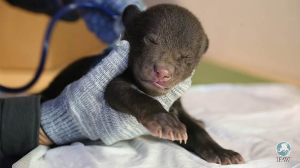 A male bear cub survived the jaws of the dog whose logger owners found him.