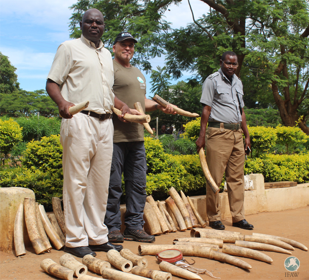 The author and two officials stand with ivory recovered this past Christmas and New Year's Day, when poachers were thinking enforcement would be light due to the holidays.