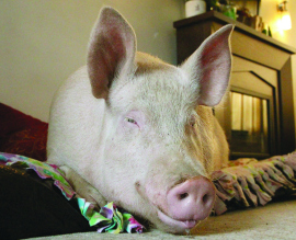 Some Kind of Wonder-Pig: Esther Is a Pampered Pet with a Purpose