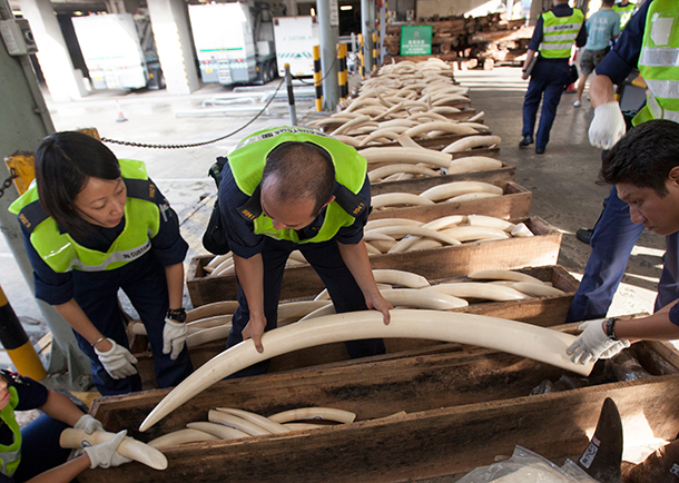 Seized ivory tusks at the Hong Kong Customs and Excise headquarters in Hong Kong, China, 08 August 2013.