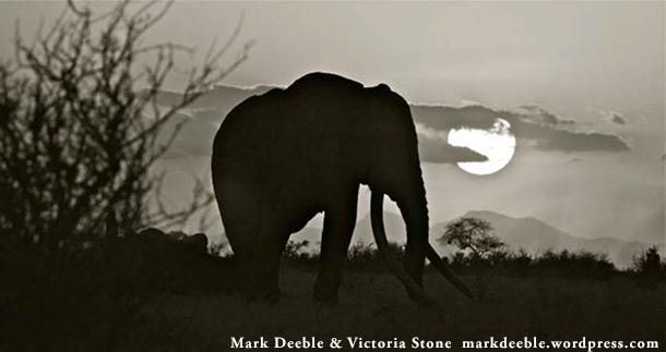 Satao, an iconic male elephant from Kenya's Tsavo Park, was killed by poachers. Image: Mark Deeble  Victoria Stone www.markdeeble.wordpress.com