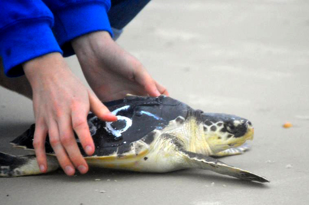 17 Critically endangered stranded turtles are released in Florida