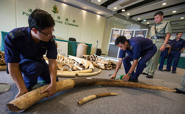 Confiscated ivory tusks from a baby elephant and an adult elephant are seen as part of an illegal shipment of ivory from Ivory Coast in Africa at the Hong Kong Customs  Excise Department Ports and Maritime Command Centre, Kwai Chung, Kowloon, Hong Kong, 03 October 2013.