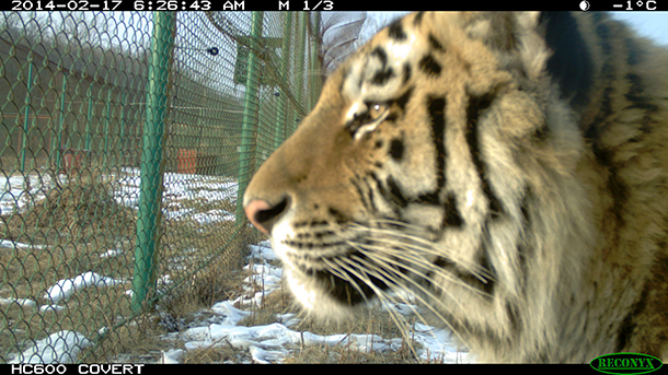 Rehabilitated Russian tiger cubs should learn to fear humans