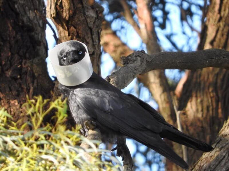 Collared Raven