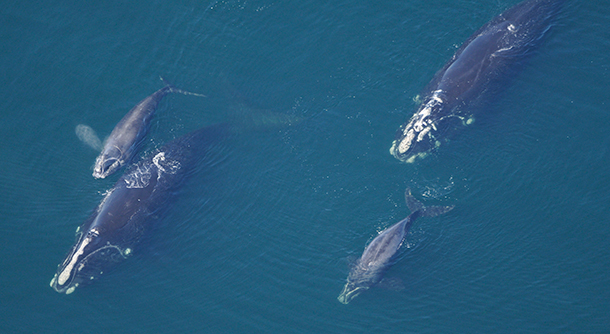 North Atlantic right whale mothers with calves. © NEAQ/Taken under a Scientific Research Permit issued by the National Marine Fisheries Service/NOAA
