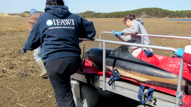 Rescuers extract the dolphin from the stranding site