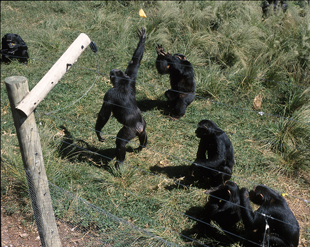 Chimps interacting in their protected habitat. © Ngamba Chimp Sanctuary