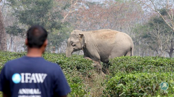 The IFAW-WTI team managed to control a crowd and enable the mother elephant to take  her calf out of the Lokhoojan Tea garden.
