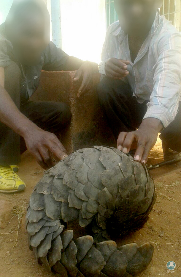 Traders illegally selling a pangolin are caught on hidden camera before their arrest.