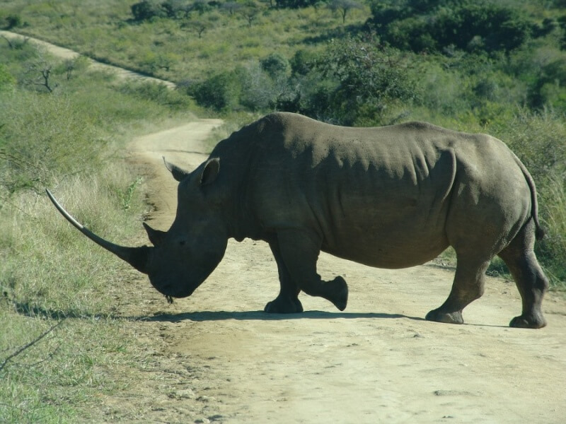 white rhino with long horn