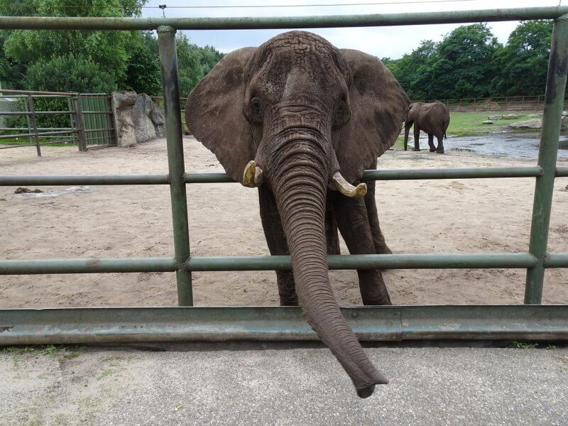 elephant in zoo