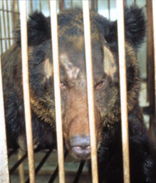 An asiatic black bear at a farm in China.