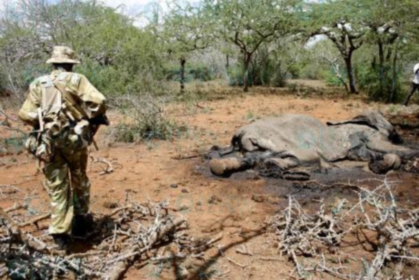 A Kenya Wildlife Service ranger gazes down upon the remains of a poached elephant in the Tsavo ecosystem. Elephants are in crisis and need our help now.