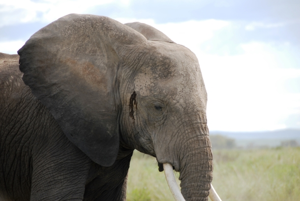 CITES takes countries to task for illegal elephant ivory trade