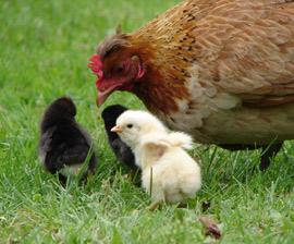 chickens hen