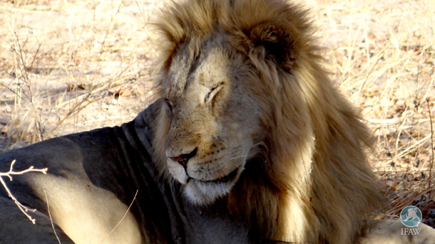 The recently confirmed CITES ban in commercial trade of products made from the bone of wild lions does nothing to address  the lion bone market being propped up by the killing of captive raised lions – principally in South Africa. PHOTO: © IFAW/J. Kinney