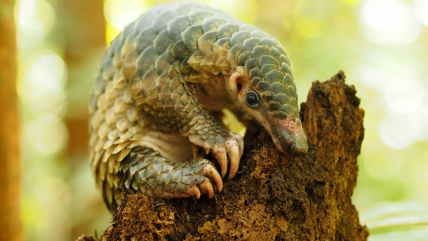 The IUCN pass a pangolin resolution that is a victory for all pangolins. PHOTO: © M. Shavez/1StopBrunei Wildlife