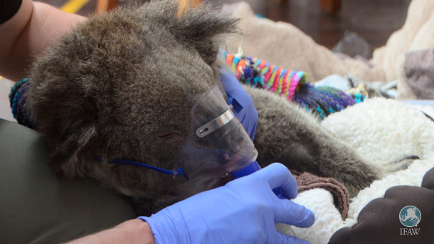The bushfires in Australia that have killed koalas or left them injured(above) are beginning again, and teams are gathering to review emergency response procedures.