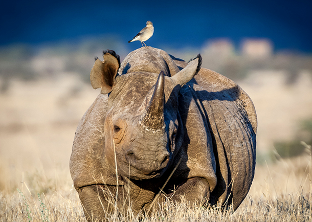 In the wake of the court ruling, the South African government is waiting on the results of an independent review on whether it should propose regulated rhino horn trade at CITES next year. PHOTO © Dan Balfour.