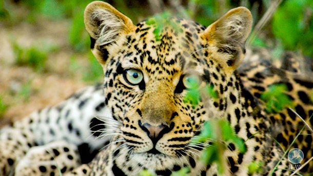 The US Fish and Wildlife Service's (USFWS) 90-day finding has concluded that they will move forward on the listing of all leopards as endangered. PHOTO: © IFAW/B. Hollweg