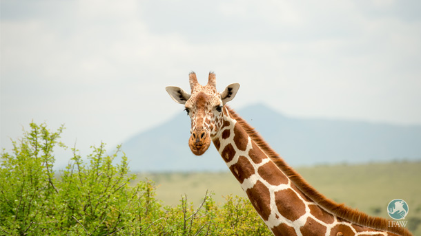 "The decline of the giraffe has been dubbed the ""silent extinction"" because of giraffes' quiet nature and the lack of worldwide attention. PHOTO:  © IFAW/B. Hollweg"