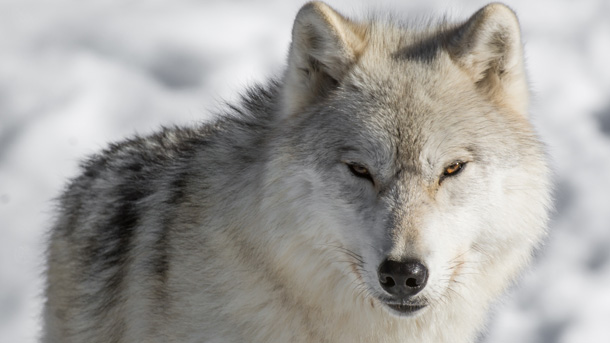 Wolves like the one pictured here may soon lose protection. Call your representatives now. PHOTO © Danielle Plourde