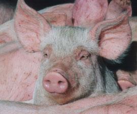 pig sad