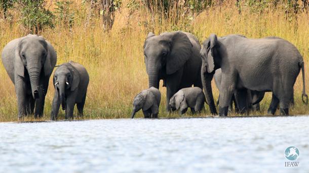 wild elephants in kasungu national park