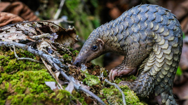Pangolins are the most illegally traded mammal in the world. PHOTO: ©1StopBrunei Wildlife