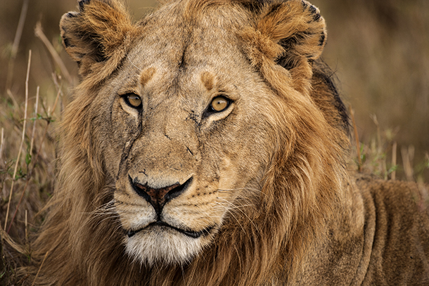 Only 20,000 lions remain in the wild PHOTO: ©Jim Zuckerman