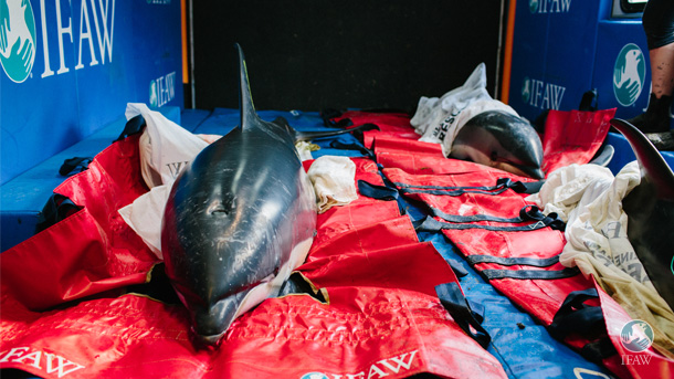 Dolphins rest on soft mats in IFAW's animal rescue trailer before release.