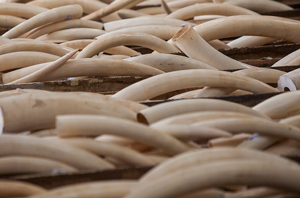 California is one of several states looking to do their part by passing ivory trade legislation.