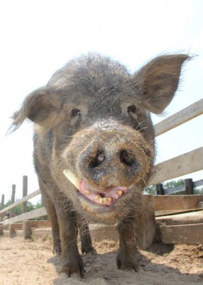 Stop using live pigs in trauma training!
