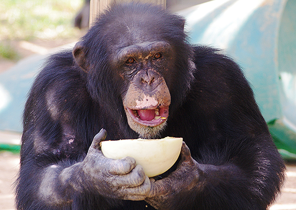 Granting new life to some special chimps