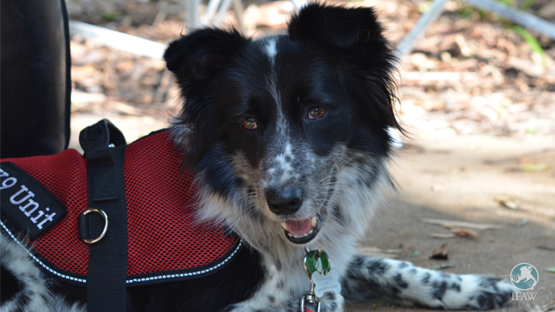 Maya, a border collie, was rescued from a dog shelter and is now fully trained at detecting koalas scat.