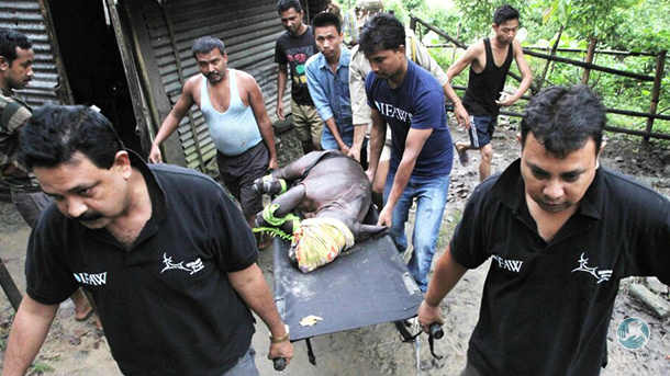 rescuing a baby rhino from the floods in assam india