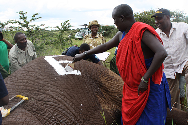 Daniel Leturesh, Chairman of OOGR painting the elephant to help in identification. c. IFAW/Jacqueline Nyagah