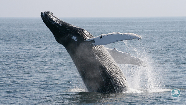 The IUCN condemns the killing of whales by Japan under the façade of science.