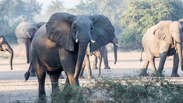 A picture of the 40-year-old bull elephant who was slaughtered by the arrested poachers. PHOTO: © Roger Allen