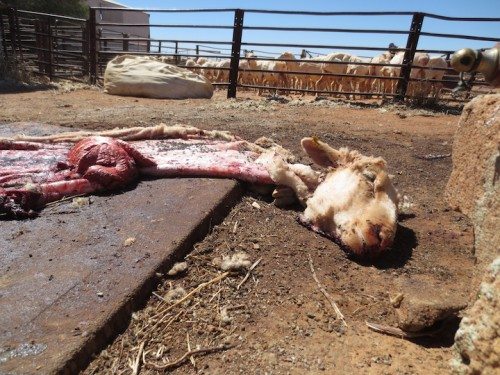 remains of sheep