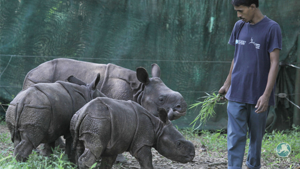 The three rhinos are finding safe places to rest in the outdoor paddock.