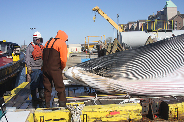 A team of biologists and veterinarians was called upon to examine and dissect an adult male fin whale that had been hit by a 970-foot container ship. c. The Riverhead Foundation